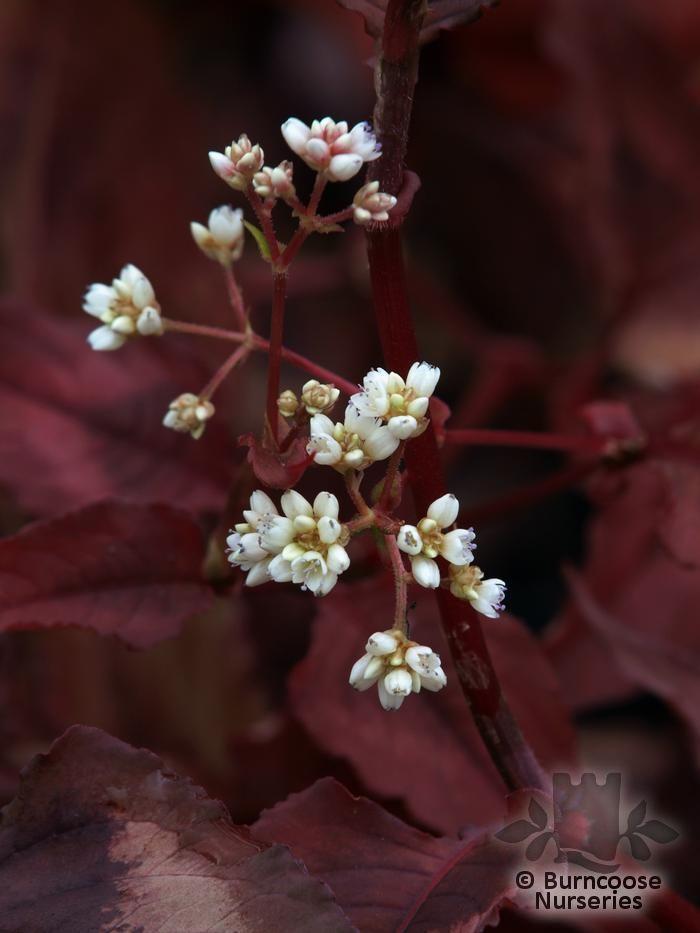PERSICARIA microcephala 'Red Dragon'