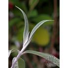 BUDDLEJA yunnanensis