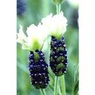 Lavender 'Tiara' x 5 young plants