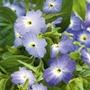 Browallia Blue Lady Seeds