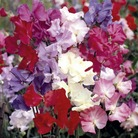Sweet Pea Seeds - Bounce Mix