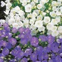 Campanula Clips Blue and White Mix Plants
