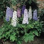 Delphinium Magic Fountains Plants