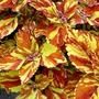 Coleus Gingernut Plants