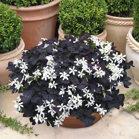 Oxalis Black Velvet Plants