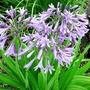 Agapanthus Plants Twin Pack