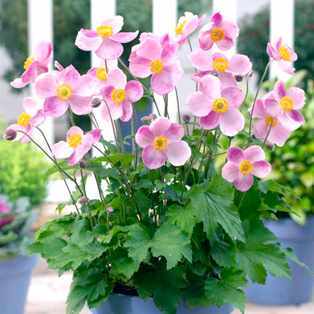 Anemone Little Princess Plants