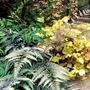 Athyrium metallicum Plants