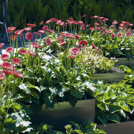 Gerbera Garvinea Plants Twin Pack