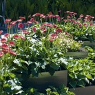 Gerbera Garvinea Plants Twin Pack