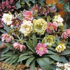 Helleborus Double Queen Mix Plants