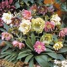 Helleborus Double Queen Mix Plants