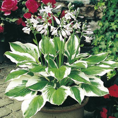Hosta Plant Collection