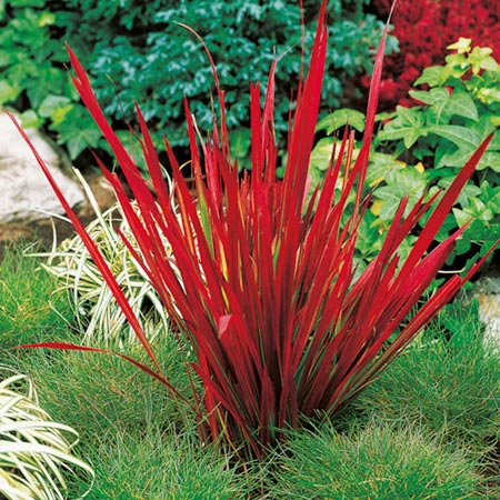 Japanese Blood Grass Red Baron Plants (Imperata)