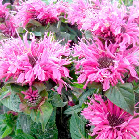 Monarda Cranberry Lace Plants