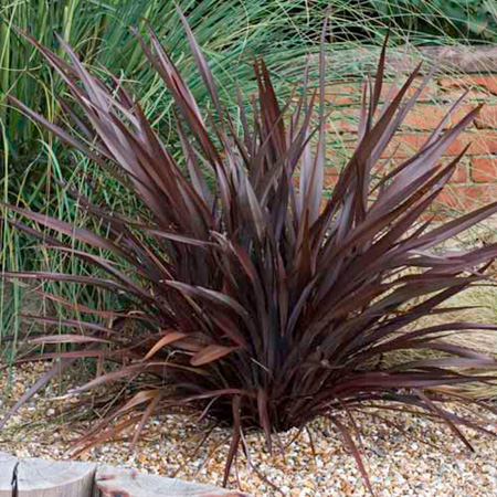 phormium bronze baby plants new zealand flax. Black Bedroom Furniture Sets. Home Design Ideas