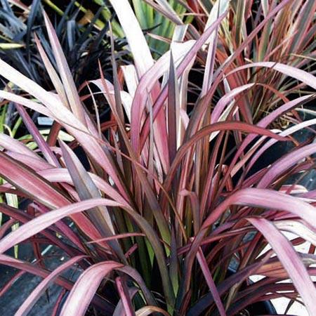 phormium flamingo plants new zealand flax. Black Bedroom Furniture Sets. Home Design Ideas