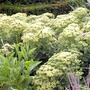 Sedum Sunkissed Plants