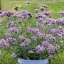 Verbena bonariensis Lollipop Plants