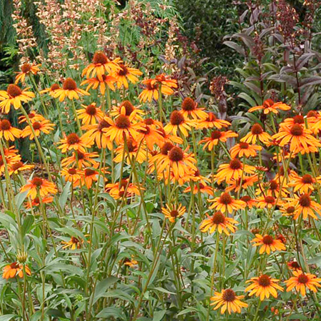 Echinacea Tiki Torch Plants