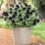 Petunia and Euphorbia Plant Twin Pack Special Offer