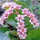 Bergenia Royal Crown