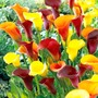 Calla Mix
