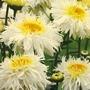 Leucanthemum Goldrush Plants