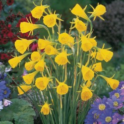 Narcissus bulbocodium Golden Bells - Miniature