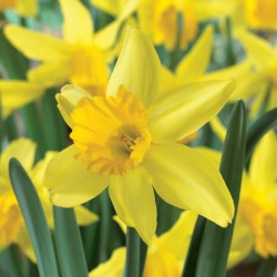 Narcissus February Gold - Cyclamineus