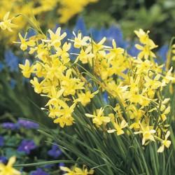 Narcissus Hawera - Triandus