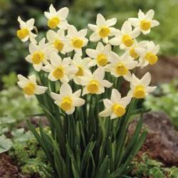 Narcissus Jack Snipe - Cyclamineus