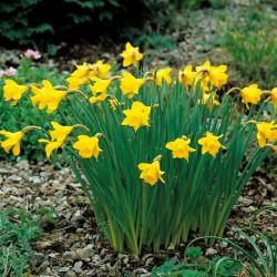 Narcissus Little Gem - Trumpet