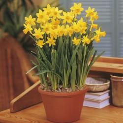 Narcissus Tete-a-Tete - Cyclamineus