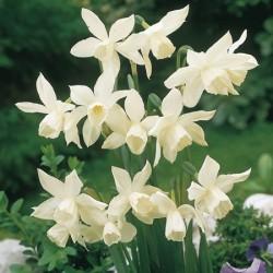 Narcissus Thalia - Triandus