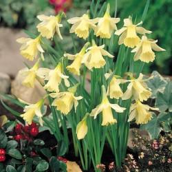 Narcissus W P Milner - Miniature