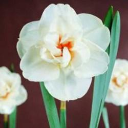 Narcissus Acropolis - Double