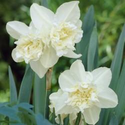Narcissus White Marvel - Double