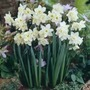 Narcissus Pueblo - Jonquilla