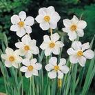 Narcissus Actaea - Poeticus