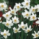 Narcissus poeticus recurvus - Poeticus