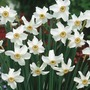Narcissus poeticus recurvus - Poeticus