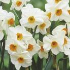 Narcissus Geranium - Tazetta