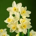 Narcissus Silver Chimes - Tazetta