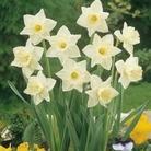 Narcissus Mount Hood - Trumpet