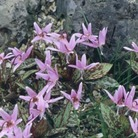 Erythronium dens-canis Mixed