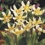 Erythronium revolutum White Beauty