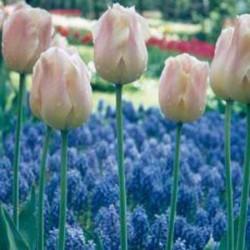 Tulip Apricot Beauty - Single Early