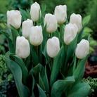 Tulip Calgary - Single Early