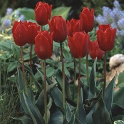 Tulip Couleur Cardinal - Single Early